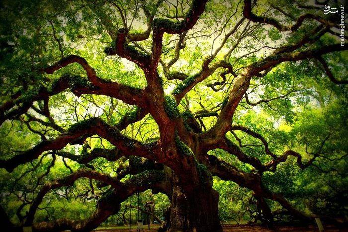 تصاویر جالبی از یک درخت۱۵۰۰ ساله